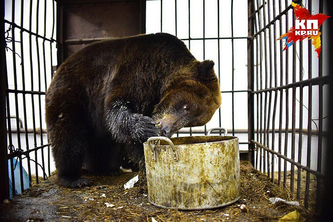 Рацион у медведицы - как у зажравшегося вегетарианца Фото: Влад КОМЯКОВ