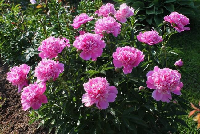 Цветок, создающий праздник: пион