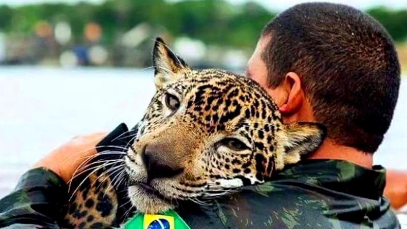 Ручной ягуар в бразильской армии