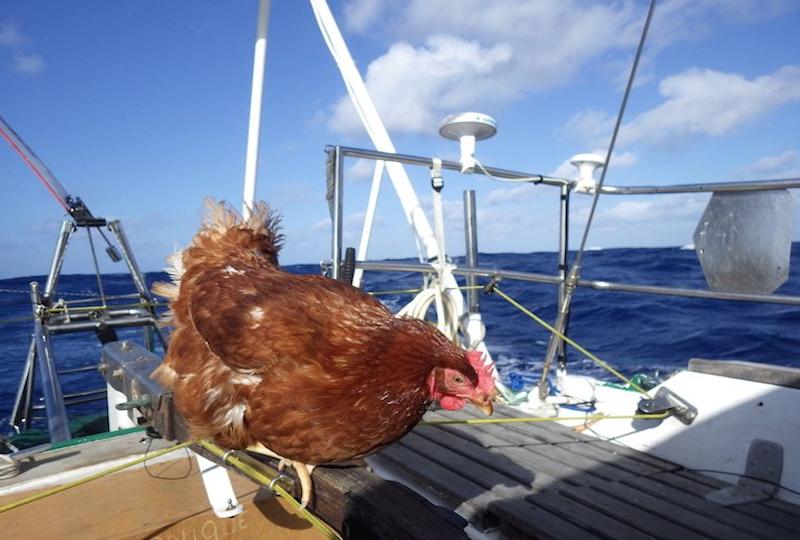 Курица путешествует на яхте по миру.