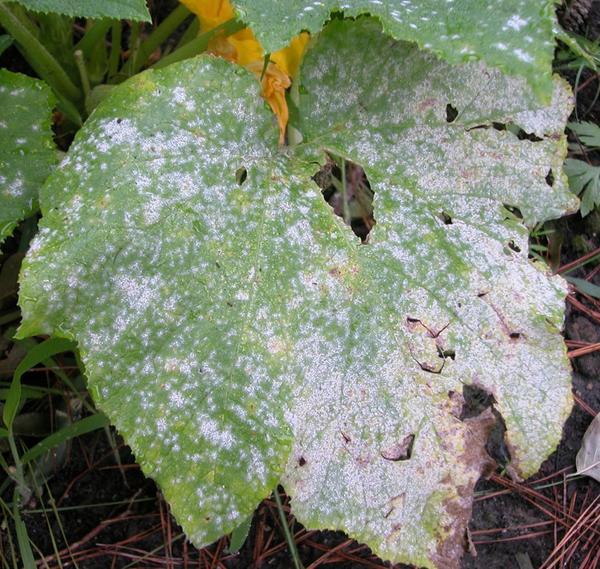Мучнистая роса на листьях огурцаФото с сайта http://www.mrjacksfarm.com