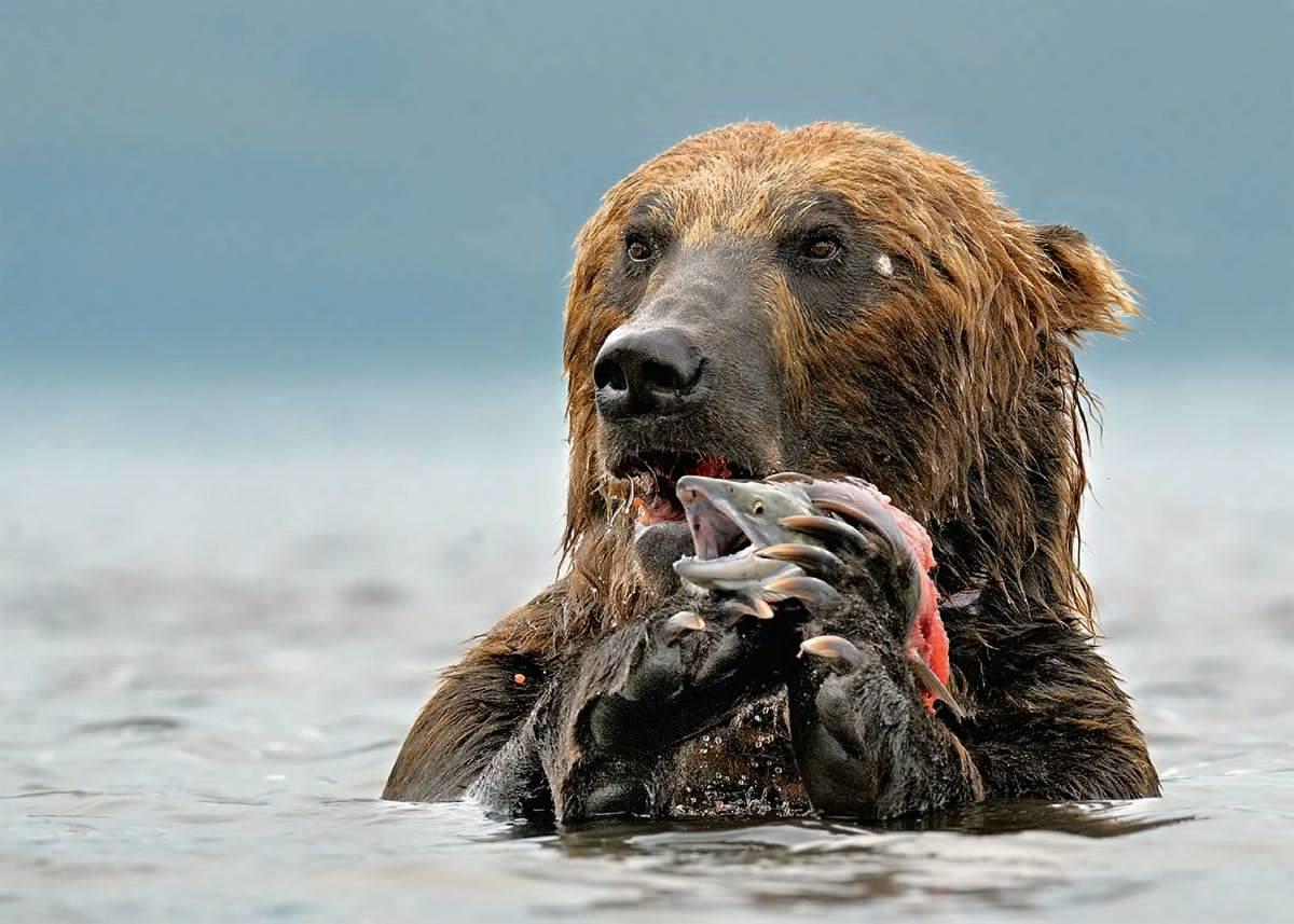 Байки о камчатском  медведе:   интереснее его  зверя  нет