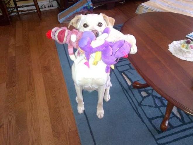 «Не с пустыми руками»: приветливая собачка встречает гостей хозяйки необычным образом!