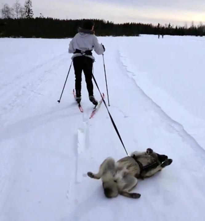 Вот же хитрая морда! Ленивый пёс-лыжник стал знаменитостью в сети