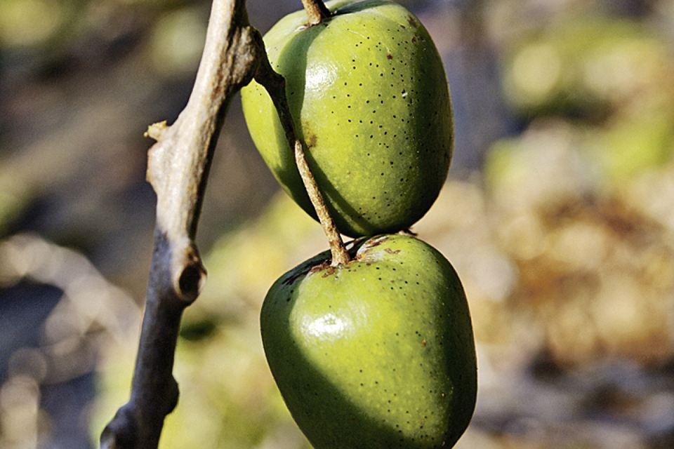 Сажать актинидию коломикта можно как осенью, так и весной.