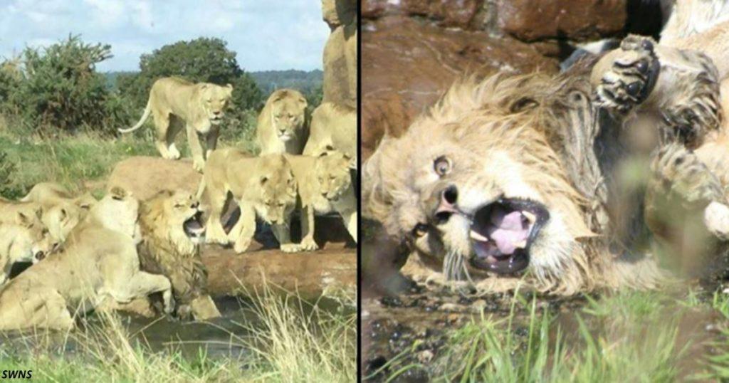 А вы знаете, что делают львицы с мужьями, которые не выполняют супружеские обязанности?