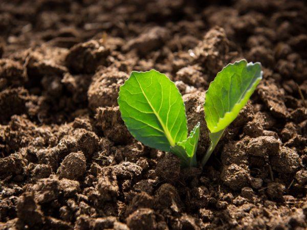 Как добиться высокого урожая капусты с помощью безрассадного метода