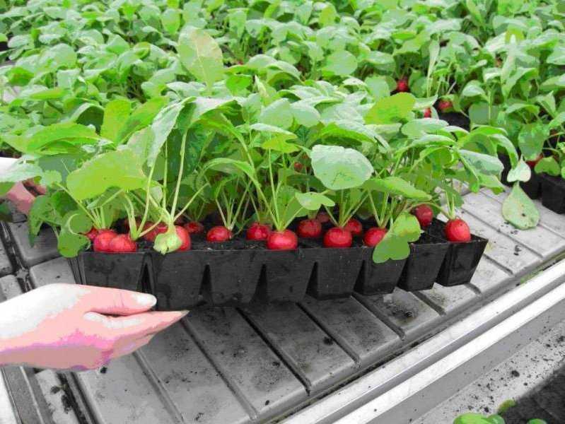 можно посадить редиску и землянику вместе основными функциями