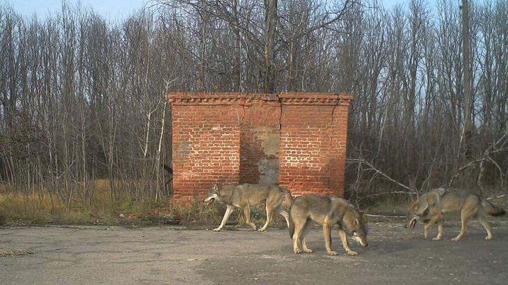 Таинственный и дикий Чернобыль попался в фотоловушку биолога