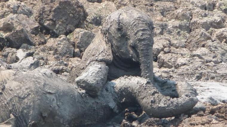 Они увидели слонёнка и его мать, умирающих в грязи...