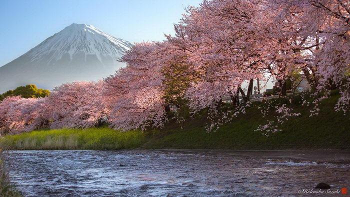 Цветение сакуры 2018 года: фото Hidenobu Suzuki
