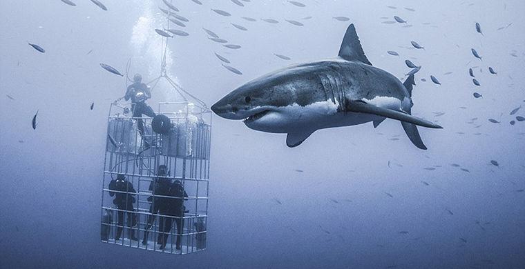 Самая большая белая акула поразила фотографов