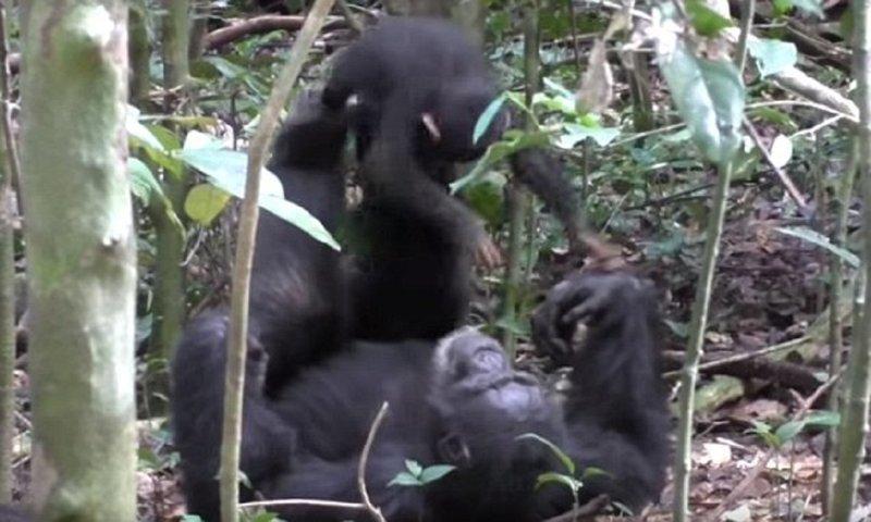 Шимпанзе играет с детенышем совсем как человек!