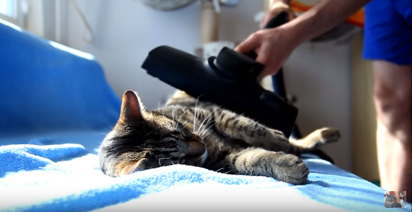 Не все коты боятся пылесоса.