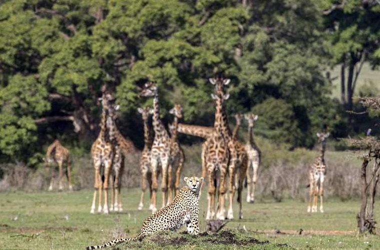 В Кении засняли встречу любопытных жирафов и равнодушного гепарда
