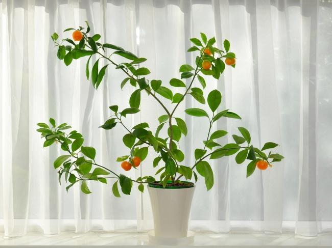 Какие фрукты можно вырастить в квартире