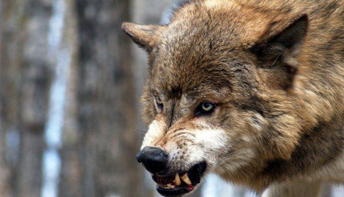 Волки атакуют людей наДонбассе, — пресса США (ФОТО)