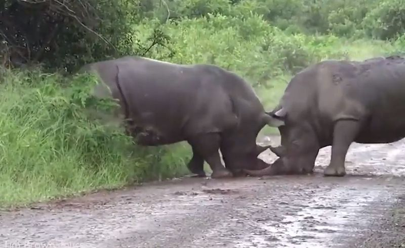 Как носороги выясняют отношения