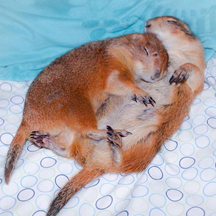 Очаровательные луговые собачки, которые подружились со всеми животными в округе животные, луговые собачки