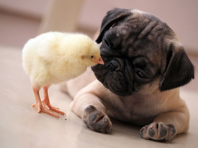 0_CATERS_PUG_AND_CHICK_01