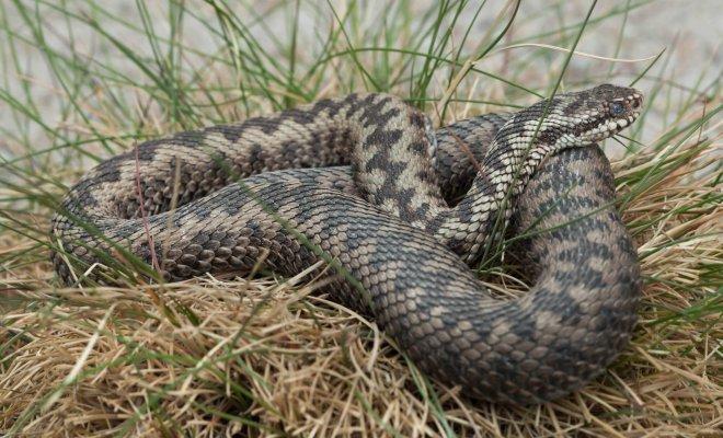 Какие виды змей обитают в наших лесах и что делать, если вас укусила змея