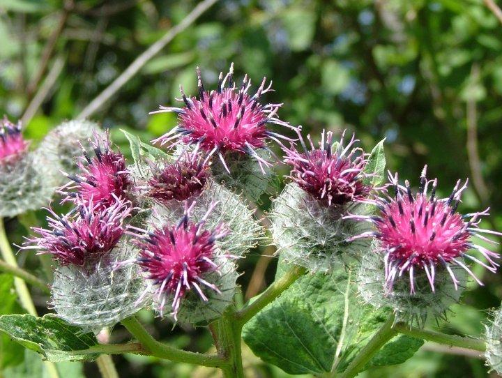 Пасека - 2005. Пчелы и медоносы. Фотографии пчел и медоносные растения - 3