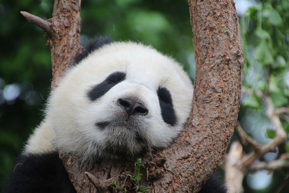 Туристам запретили кормить и фотографировать панд в Китае