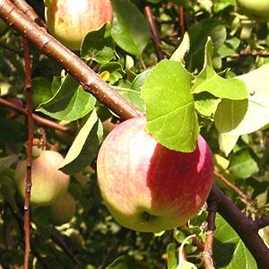Болезни яблонь на фото и спо…