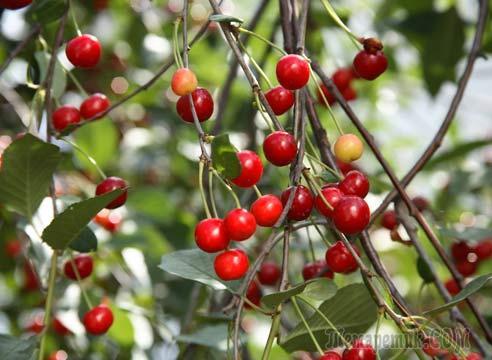 Почему не плодоносит вишня