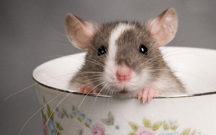 Всемирный день крысы: 25 увлекательных фотофактов из жизни грызунов