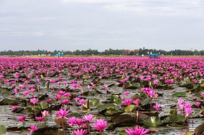 Озеро розовых лотосов