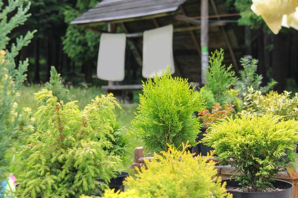 Сажаем хвойные растения правильно
