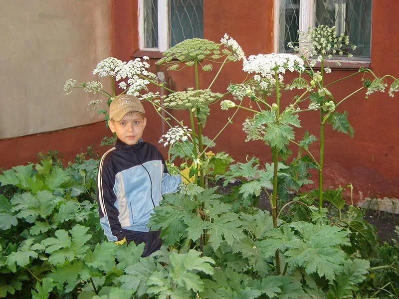 За борщевик на участке могут оштрафовать на один миллион рублей