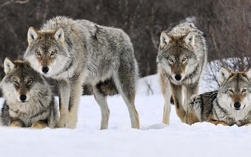 Проверено временем: иерархия волчьей стаи
