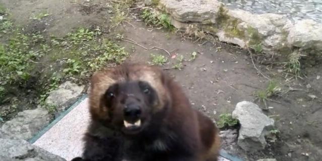 Видео игривых росомах Ленинградского зоопарка появилось в Сети