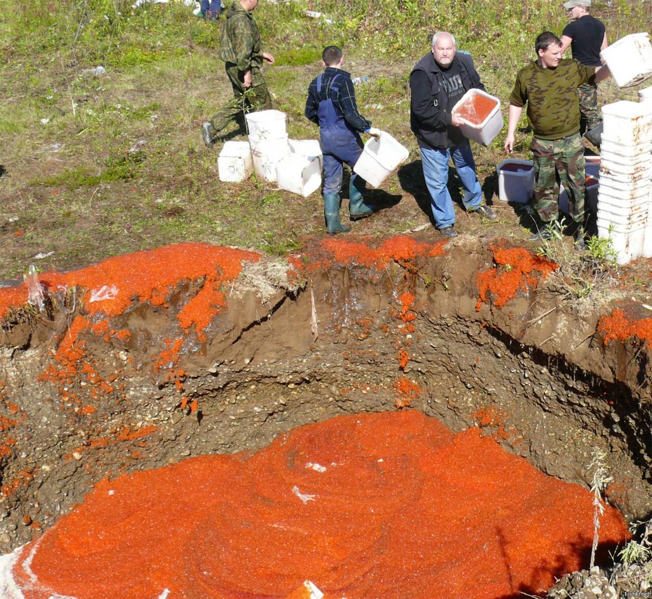 На Камчатке свиней кормят красной икрой