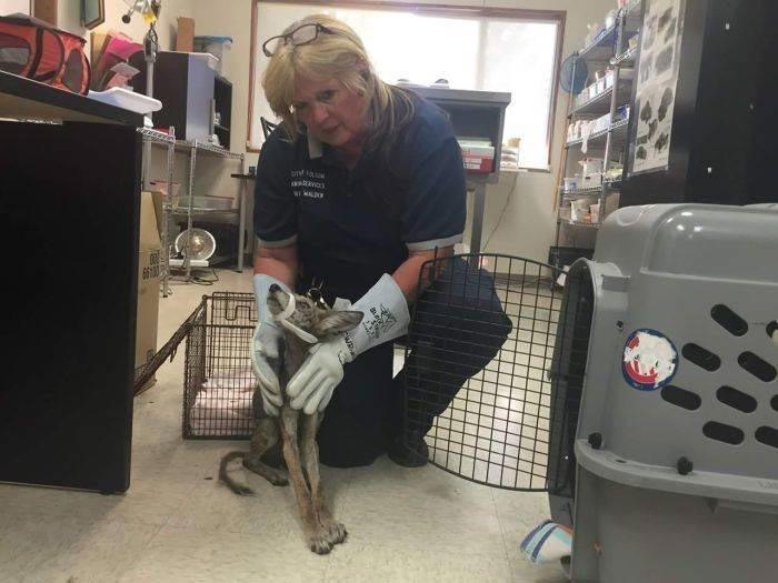 Хозяйка дома по имени Шэрон Бертоцци заметила, что с животным что-то не так и сразу позвонила в службу спасения животных в мире, добро, животные, люди, собака, спасение