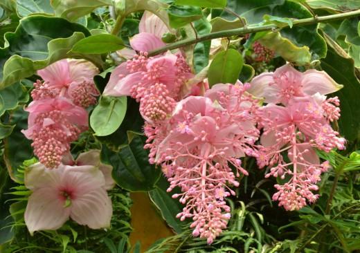 Как добиться обильного цветения мединиллы