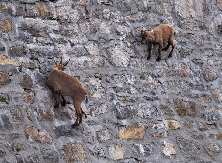 Альпийские козы, которые нар…