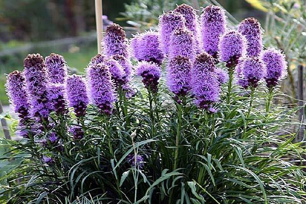 Лиатрис – цветущие свечи в саду