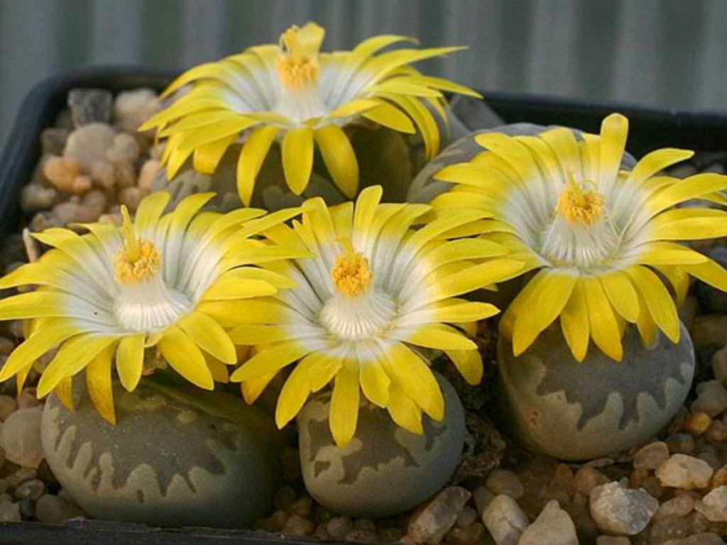 Как вырастить ЛИТОПСЫ из семян (ЖИВЫЕ КАМНИ)