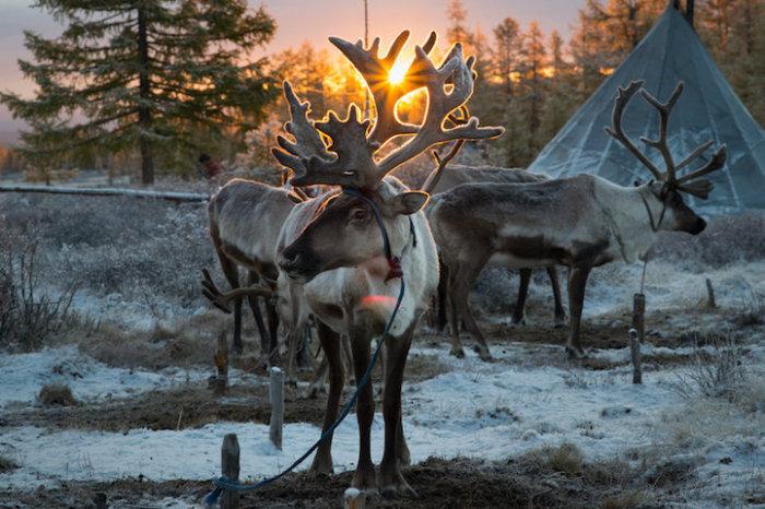 Зимой во время охотничьего сезона олени обычно паслись у стойбищ.