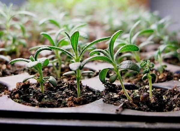 Розмарин из семян – как доби…