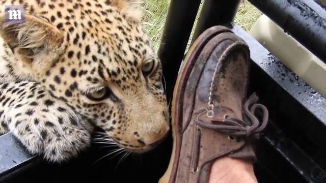Турист дал поиграть леопарду со своей ногой