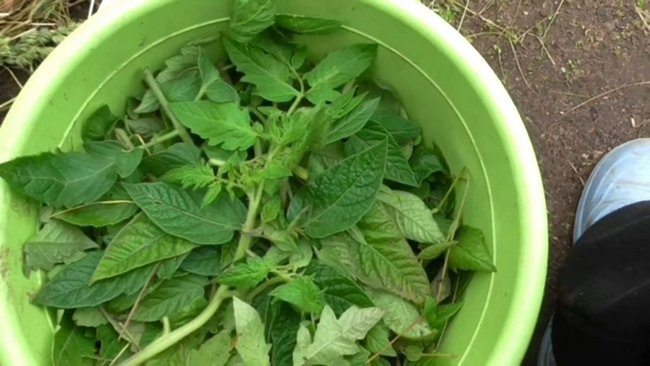 Вот как можно использовать ботву томатов с пользой для сада и огорода