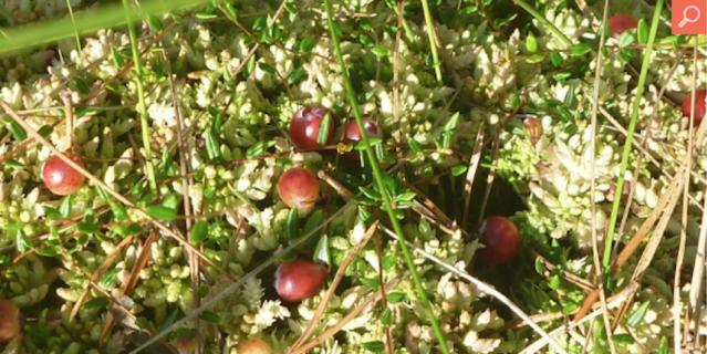 В Подмосковье нашли ягоду, исчезнувшую 100 лет назад