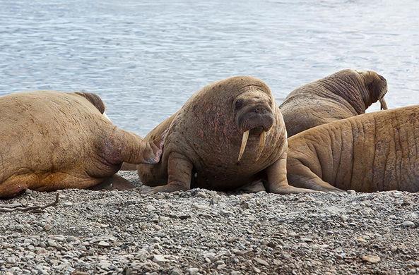 Осенью одно из крупнейших лежбищ моржей перестало быть «холостяцким»