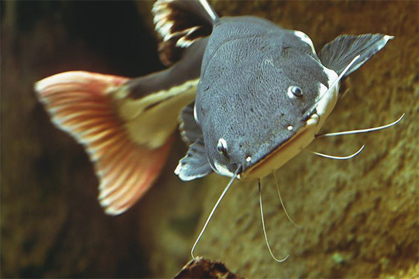 Рыбацкая байка. Молочный сом