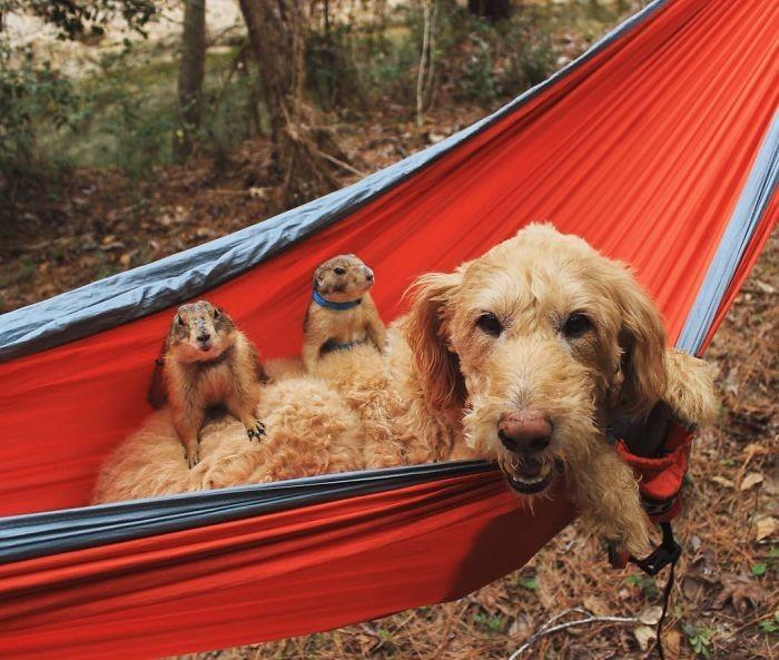 Знакомьтесь, Бинг и Сварли - самые очаровательные луговые собачки в Инстаграме животные, луговые собачки
