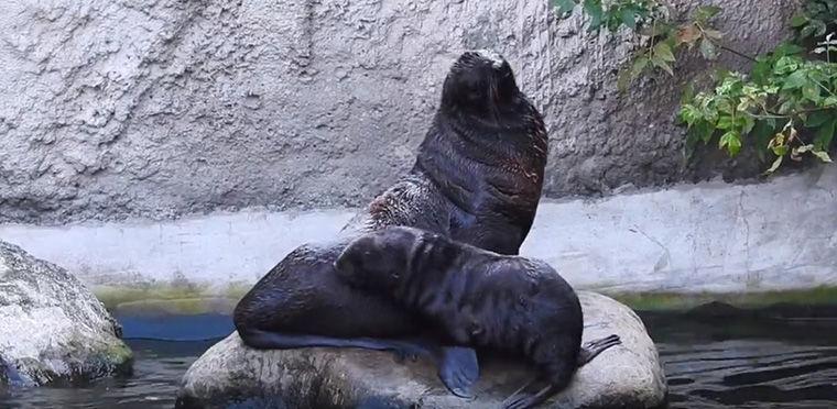 Московский зоопарк представил детеныша морского котика